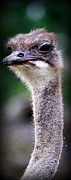 Ostrich Photo Framed Prints - Im Watching You Framed Print by Tam Graff