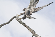 Immature Photos - Immature Eagle At Play by Deborah Benoit