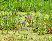 Ibis Photos - Immature Ibis by Al Powell Photography USA