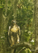 Hawk Photographs Prints - Immature Red-Tail Hawk Print by Phill  Doherty