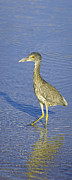 Immature Posters - Immature Yellow Crowned Night Heron  Poster by Patrick M Lynch