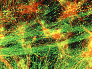 Neuroglia Posters - Immunofluorescent Lm Of Neurons & Astrocytes Poster by Nancy Kedershaucla
