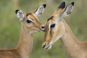 Emoting Framed Prints - Impala Aepycerus Melampus Fawn Grooming Framed Print by Suzi Eszterhas