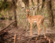 Impala Originals - Impala Fawn Kruger Park South Africa by Joseph G Holland