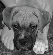 Boxer Puppy Digital Art Metal Prints - Impawsible Metal Print by DigiArt Diaries by Vicky Browning