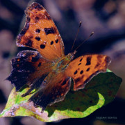 Leaves Digital Art Acrylic Prints - Imperfect Satyr Comma Acrylic Print by DigiArt Diaries by Vicky Browning