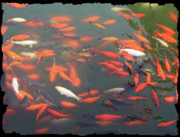 Golden Fish Framed Prints - Imperial Koi Pond Framed Print by Carol Groenen