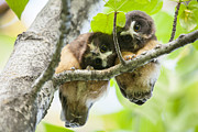 Resting Photos - Impossibly Cute Owl Fledglings by Tim Grams