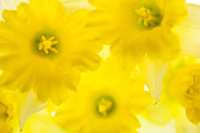 Narcisse Acrylic Prints - Impression of Daffodils Acrylic Print by Brad Rickerby