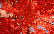 Red Maple Trees Posters - Impression of Red Maple Poster by Charline Xia
