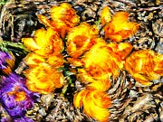 Yellow Crocus Framed Prints - Impressionistic  Yellow Crocus Framed Print by Barbara Griffin