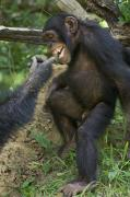 Senegal Photos - In A Gesture Of Reassurance, A Chimp by Frans Lanting
