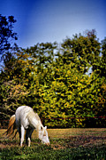 Grazing Horse Posters - In A Graze Poster by Chris  Mautz