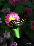 Zebra Butterfly Acrylic Prints - In a Ray of Sunlight Acrylic Print by Trina Prenzi