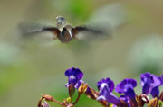 Rufous Hummingbird Posters - In Coming a hummingbirds Story Poster by Laura Mountainspring