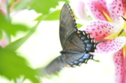 Butterfly In Flight Prints - In Flight 2 Print by David Arment