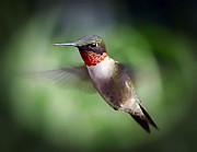 Hummingbird Originals - In Flight by Arnie Goldstein