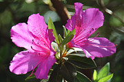 Azalea Prints - In Full Bloom Print by Suzanne Gaff