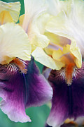 Purple. Iris. Buds Prints - In Love With Iris Print by Angelina Vick