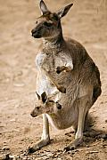 Marsupial Art - In  Mothers Care by Mike  Dawson