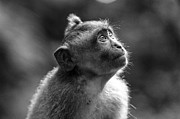 Primate Photos - In My Eyes by Leah Kennedy