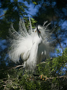 Ardea Framed Prints - In Plumage Framed Print by Wade Aiken