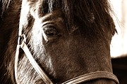 Forelock Photos - In Russian KON by JAMART Photography