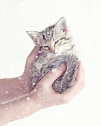 Kitten Framed Prints - In Safe Hands  Framed Print by Amy Tyler