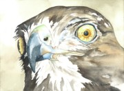 Red-tailed Hawk Paintings - In Sight by Kimberly Lavelle