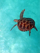 Green Sea Turtle Photos - In the Big Blue by JP Lawrence