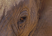 Elephant Photos - In The Eye of the Elephant by Sandra Bronstein