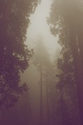 Huge Trees Posters - In the forest - sepia Poster by Hideaki Sakurai