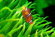Clown Fish Photos - In the Green by Tolga Cetin