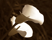 Calla Lily Posters - In the Light Calla Lilies Sepia Poster by Jennie Marie Schell