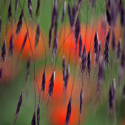 Red - In the Meadow by Heiko Koehrer-Wagner