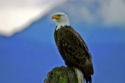 Alaskan Bald Eagle Acrylic Prints - In The Moment Acrylic Print by Scott Mahon