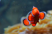 Clown Fish Photos - In The Open by Zach Connor