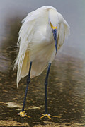 Snowy Egret Prints - In The Parking Lot Print by Deborah Benoit