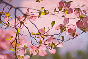 Dogwood Prints - In The Pink of Things Print by Rebecca Cozart