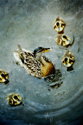 Baby Mallards Posters - In the pond Poster by Marlene Ford