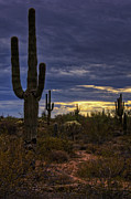 Southwest Landscape Metal Prints - In the Shadow of the Saguaro  Metal Print by Saija  Lehtonen