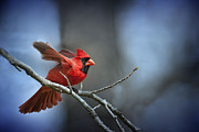 Male Northern Cardinal Prints - In the still of the night . . . Print by Bonnie Barry