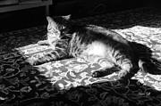 Kitty Cat Prints - In the Sunbeam in Black and White Print by Suzanne Gaff