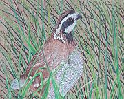 Quail Paintings - In the Tall Grass by Anita Putman