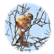 Fox Squirrel Framed Prints - In the Tree Top Framed Print by Betty LaRue