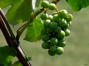Grape Leaves Photos - In The Vineyard by Debra     Vatalaro