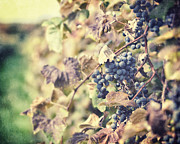 Purple Grapes Prints - In the Vineyard Print by Lisa Russo