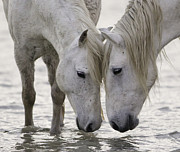 White Horses Photo Prints - In the Water at Dawn Print by Carol Walker
