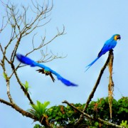 Macaws Prints - In the Wild Print by Karen Wiles