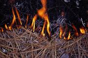 Pine Needles Photos - In This Close-up, The Flames by James P. Blair